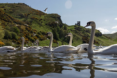 Edinburgh Ponds April 2018 (78 of 228) (Philip Gillespie) Tags: lochend park pond st margaret loch water wet birds swans seagulls pigeons drips drops sky cloud sun sunshine trees bushes leaves branches kite mono monochrome black white colour color green blue yellow red orange flowers door waves ripples reflections grass hill arthur seat low level close up landscape waterscape eyes beaks feathers people man girl ruin chapel church silhouette contra lumiere bench clouds flood rocks roof wire barbed goose splash reeds nature natural forest wood