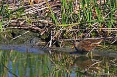 Marouette ponctuée . (PACHA23) Tags: maraisdesuarez oiseaudeau nature viesauvage fauna wildlife faune marais espagne marouetteponctuée