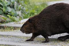 Out for Dinner (Photocatvan) Tags: vancouver vancity falsecreek urbannature hingepark olympicvillagebeavers beaver