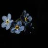Low Key for Macro Monday (Budoka Photography) Tags: manualfocus macromonday lowkey flower flowers macro