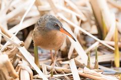 ''La pose!'' Râle de virginie-Virginia Rail (pascaleforest) Tags: oiseau bird animal marais nikon nature passion wild wildlife faune printemps spring