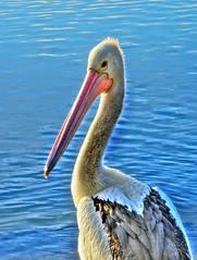Pelican portrait IV (elphweb) Tags: hdr highdynamicrange nsw australia pelican pelicans bird seabird bill beak pouch