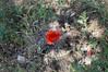 Ψίνθος (Psinthos.Net) Tags: ψίνθοσ psinthos nature φύση εξοχή countryside drygrass ξεράχόρτα pollen γύρη χωράφι field laoutari laoutariarea laoutaripsinthos λαουτάρι λαουτάριψίνθου περιοχήλαουτάρι λαγουτάρι lagoutari lagoutariarea greens χόρτα άγριαλουλούδια αγριολούλουδα wildflowers flowers λουλούδια φώσ light φώσήλιου φώσηλίου sunlight stones πέτρεσ άγριολουλούδι αγριολούλουδο wildflower flower λουλούδι κόκκινολουλούδι redflower redblossom κόκκινοσανθόσ κόκκινοάνθοσ παπαρούνα poppy poppies παπαρούνεσ κόκκιναλουλούδια redflowers redblossoms blossoms άνθ κόκκιναάνθη soil έδαφοσ χώμα ground πέταλα spring may άνοιξη μάιοσ μάησ