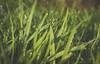 Morning Dew drops (NS| Fotography @ Naresh Sritalam) Tags: grass morningdew morning drops dropsonleaves dropsongrass greengrass bokeh bokehlicious nikond3100 nikon nikonphotography closeup macrodroplet macro grassblades lowangle perspective misty mist earlymorning melbourne gardens garden australia