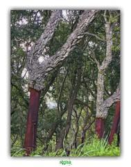 LA POSITION DU POIRIER // DOING A HEADSTAND (régisa) Tags: poirier position headstand analogy analogie tree arbre corse corsica oak cork liège bark écorce ressemblance chiavari forêt forest chêneliège démasclage