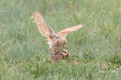 Burrowing Owl mating sequence - 5 of 22