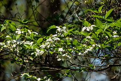 Dogwood blooms at McDaniel Farm (randyherring) Tags: park farm historic woods trees recreation nature relaxing hiking rural historical agricultural buildings countryside