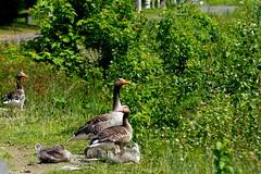 Family (ivlys) Tags: rheingau oestrichwinkel rhein rhine fluss river graugans greygoose vogel bird tier animal natur nature gras grass busch bush ivlys