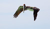 Looking for Lunch -- Brown Pelican, Juvenile (Pelecanus occidentalis);  Venice, FL, Venice Beach [Lou Feltz] (deserttoad) Tags: bird wildbird wildlife nature park refuge florida flight behavior