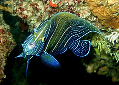 Pomacanthus semicirculatus (subadulte) - Praslin Island, Seychelles (jeanmarie.gradot) Tags: coth5