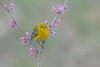 Pine Warbler (Joe Branco) Tags: naturephotography nature photoshopcc2018 branco joe joebrancophotography wildlifephotography nikon wildlife pinewarbler green ohio