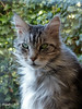 Floris: I am 12 years old now. (11th May). (Cajaflez) Tags: tomcat pet cat kat katze chat gatto kater raskat pedigree huisdier mainecoon birthday verjaardag floris portret portrait coth5