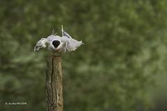 _JRH1988 (jeanrene31240) Tags: oiseaux sternes sternespierregarin ariège occitanie mazères domainedesoiseaux sternahirundo