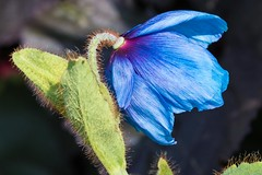 D54A9089 (Simon in ´t Veld Photograpy) Tags: meconopsis blue flower garden