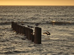 feathers (paddy_bb) Tags: olympusomd paddybb 2018 travel mft microfourthirds deutschland schleswigholstein sylt norddeutschland strand sun beach germany nordsee northsea sand seascape feathers seagull abendlicht