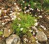 Saxifrage (Karen @ Wall Flower Studio) Tags: wallflowerstudio may21stgardenwfs may21st2018 spring may 2018 growing karensloan saxifrage saxifraga blooms flowers alpine hardy ontario canada