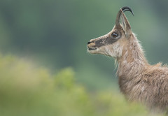 Dame en mue (Eric Penet) Tags: chamois animal sauvage vosges lorraine hohneck france montagne mountain wildlife wild rupicapra mammifère mammal alsace est printemps mai ongulé