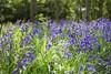 bluebells 2 (grahamdale74) Tags: bluebells 2018 alyssia caitlin chel
