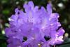 Light purple Rhodendron 2016 (Myk499 - Pure & Simple.) Tags: nikond3300 myk499 nikkor1855mmvrii closeup outdoor focus dof depthfield flower flora plant sidelight rhodendron nature