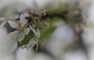Apple flowers / Almafa