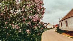 01.05.2018 (Fregoli Cotard) Tags: bez syringavulgaris lilak bzem pospolity lilac liliac flowers spring springishere floral dark moody rainy springrain countryside mycountrysidetonic dailyjournal dailyphotography dailyproject dailyphoto dailyphotograph dailychallenge everyday everydayphoto everydayphotography everydayjournal aphotoeveryday 365everyday 365daily 365 365dailyproject 365dailyphoto 365dailyphotography 365project 365photoproject 365photography 365photos 365photochallenge 365challenge photodiary photojournal photographicaljournal visualjournal visualdiary 121365 121of365