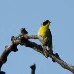 Common Yellowthroat thumbnail
