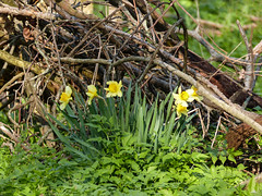 Daffodils growing wild, Pt Pelee (annkelliott) Tags: canada ontario ptpelee day1 nature plant flora flower growingwild daffodil yellow cluster group woodland forestfloor outdoor spring 7may2018 fz200 fz2004 annkelliott anneelliott ©anneelliott2018 ©allrightsreserved