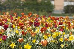 Tulip Festival (Steffe) Tags: tulpaner tulips tulpanfestival tulipfestival flowers handen haninge sweden summer