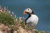 Puffin (Phil D 245) Tags:
