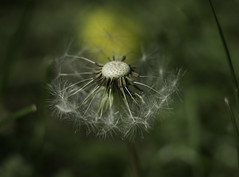 Going with the wind (Boxertrixter) Tags: dandelion summer england flower seeds garden olympus olympusomdem1 adaptedlens helios44m58mm extensiontube closeup microfourthirds mft m43 mirrorless