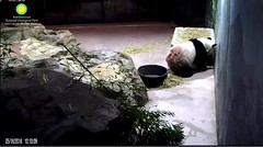 Food on the Hammock 2018-05-18 (MyFoto:)) Tags: ccncby panda endangered vulnerable tiantian smithsonian nationalzoo eating biscuit hammock
