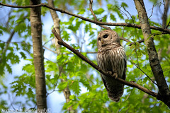 Barred Owl Looking Out (sexton.ad) Tags: bird owl barredowl nature wildlife sony sonya7r sigma sigma150600mmcontemporary