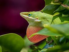 Green Anole (m.keeton626) Tags: green anole omdem5mkii 40150pro olympus lizard nature color red bokeh depth field macro closeup