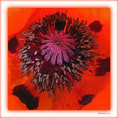 Poppy (Badenfocus_1.000.000+ views_Thanks) Tags: badenfocus mohn klatschmohn poppy rot red hannover fujifilmx20