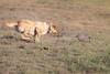 A Day At The Races (gseloff) Tags: dog armadillo chesapeakebayretriever race chase ranch terrellcounty texas gseloff