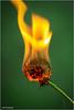 abgefackelt (geka_photo) Tags: gekaphoto löwenzahn pusteblume feuer brennend dandelion fire grün