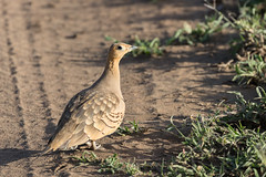 Chestnut bellied Sandgtouse (Hector16) Tags: namiriplains eastafrica tanzania serengeti wildlife nature shinyangaregion tz ngc