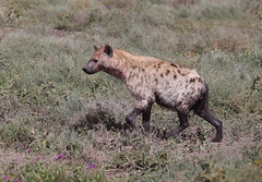 Spotted Hyena (ashockenberry) Tags: safari savanna serengeti spotted hyena wildlife wildlifephotography wild wilderness nature naturephotography natural canine pic ashleyhockenberryphotography animal predator carnivore tanzania travel tourism mammal national park game reserve teeth fearsome africa