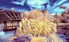 Infrarred Bogota botanical garden_680nm (Luis FrancoR) Tags: infrarredbogotabotanicalgarden680nm infraredview infrared infrarrojo infraredpark ng ngc ngs ngd bogota jardinbotanicobogota