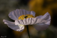 Imperfections (Irina1010) Tags: poppy white flower macro bokeh dust imperfection beautiful light shadow subtle nature canon o coth5 ngc npc