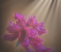 Peony (LupaImages) Tags: flower peony plant summer spring pink light sun sunlight outside pretty scent nature garden