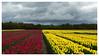 Kleurrijk landschap (Geziena) Tags: bloemenzee kleur kleurrijk bloemen wolkenlucht lucht tulp tulpen