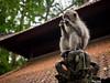 20170201-P2010310 (cooneybw) Tags: indonesia traveling asia animals monkeys wildlife
