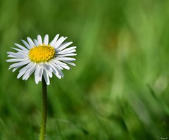 Enjoy the little things! (Nina_Ali) Tags: flora daisy depthoffield green white yellow singleflower