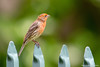 House Finch (Carpodacus mexicanus) (Hayataro Sakitsu (﨑津 鮠太郎)) Tags: housefinch finch bird hawaii carpodacus mexicanus carpodacusmexicanus wildlife male tropical nature wild
