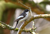 Male Pied Flycatcher (Georgiegirl2015) Tags: piedflycatcher flycatcher birds bbcwalesnature canon countryside migration midwales elanvalley powys ef300mm wildlife wales woodlands oak dellalack april2018 spring sunny