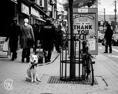 takesaDogtoRaiseaVillage.jpg (christophersears94) Tags: toronto urban roncesvalles street canine dog ontario canada olympusem12 ronnyvillage olympus40150f28pro ronceydog ca