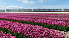 Foto Roel van Deursen Bollenpracht Goeree Overflakkee - Oude Tonge 2018-04-23 (10) (Roel van Deursen) Tags: tulpen vol bloei op goereeoverflakkee 2018