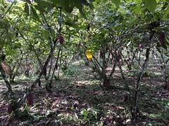 Cacao, PermaTree, Ecuador (yago1.com) Tags: cacao permatree