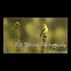 goldfinch (wildlifephotonj) Tags: goldfinch goldfinches finch finches wildlifephotography wildlife nature naturephotography wildlifephotos naturephotos natureprints birds bird songbirds